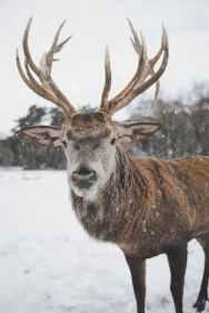 brown deer standing on snow